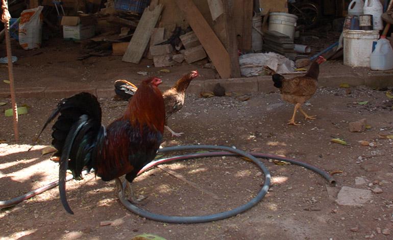 INVASIÓN.- Los animales invaden las propiedades de los vecinos y ellos se enfurecen.