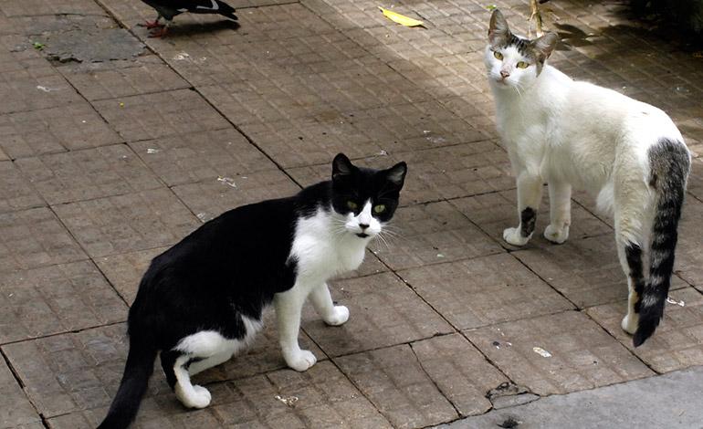 """SALTOS.- Los """"felinos"""" suelen saltarse los muros y casas de los demás habitantes para alimentarse y defecar."""