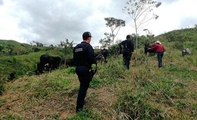 """Acosados por la policía, abigeos quedan sin """"tamales"""" al abandonar 75 semovientes en Olancho"""