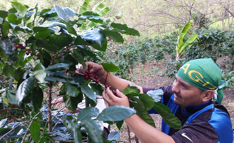 Honduras mayor productor de café centroamericano