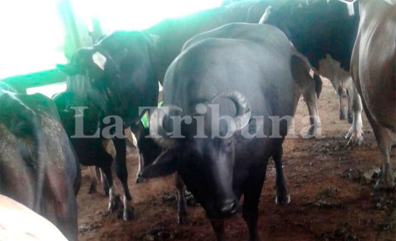 """La Sociedad Ganadera del Valle S.A. """"Sogavalle"""" fue entregada a la OABI, junto con 34 vacas grandes y 32 terneros pequeños."""