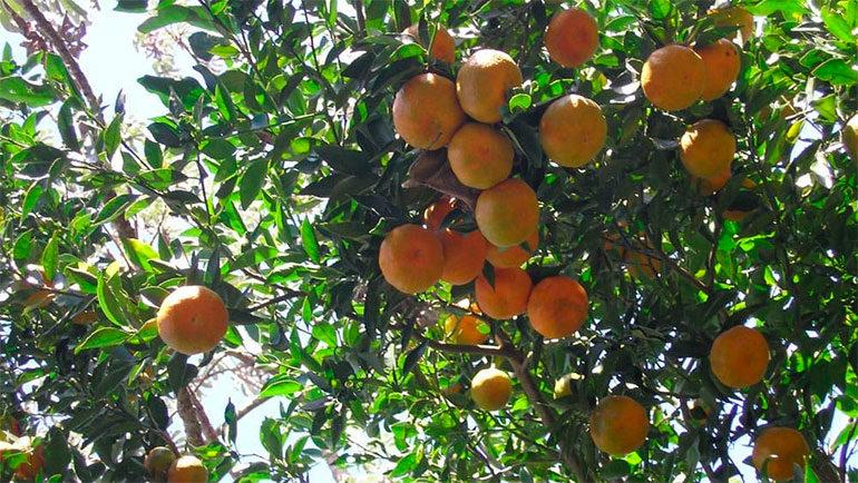 Gobierno atiende 171. 3 manzanas de cítricos