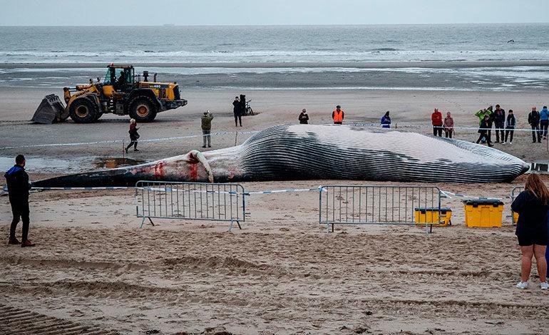 Aparece una ballena de 18 metros varada en una playa de Bélgica