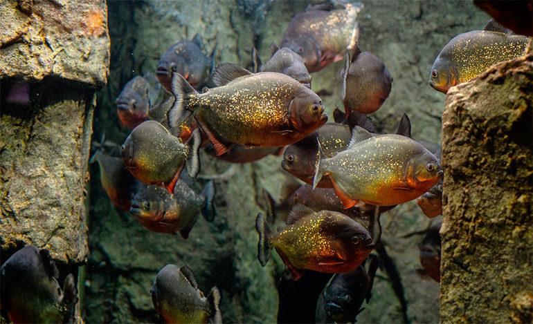 """Descubren restos de un pez """"piraña"""" que comía carne hace 150 millones de años"""