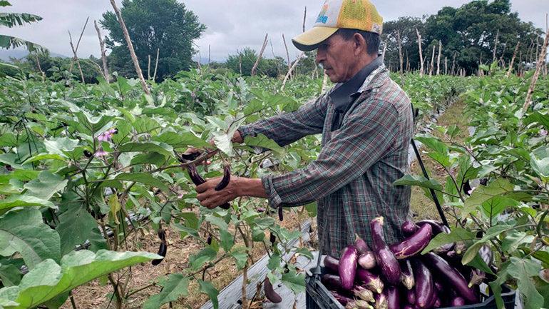 Senasa certifica 14 fincas  de vegetales orientales
