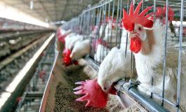 Los hondureños comen 350 millones de libras de pollo