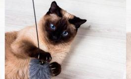 Estas son las razas de gatos más cariñosas