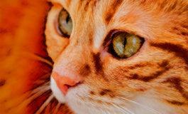 Enfermedades raras que se presentan en los gatos
