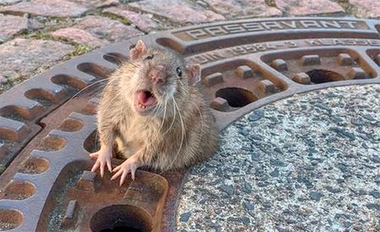 Bomberos de Alemania rescataron a rata obesa atrapada en alcantarilla (Video)