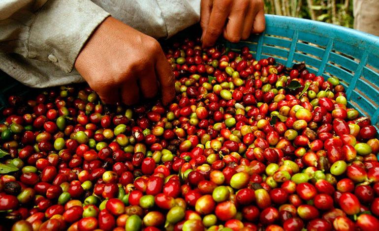 Ingresos por ventas de café bajan 27.7% en ciclo actual