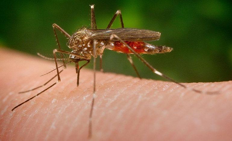 Larva y zancudo adulto son resistentes a los pesticidas
