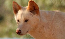 Investigadores australianos aseguran que el dingo no es un perro salvaje