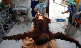La triste historia de Hope, la orangutana que sobrevivió a 74 disparos