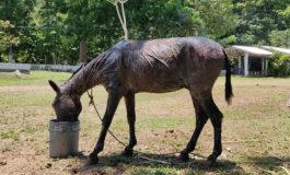 """""""Aron"""" el burro víctima de un incendio forestal necesita ayuda para su rehabilitación (Video)"""