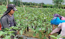 Vegetales orientales impulsan el ingreso de divisas en Honduras