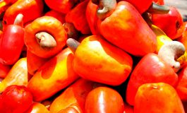 L9 millones en ingresos deja cosecha del marañón