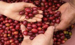 La exportación de café baja en 700 mil quintales