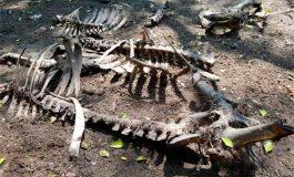 Raro virus mata a más de 20 vacas en Santa Bárbara