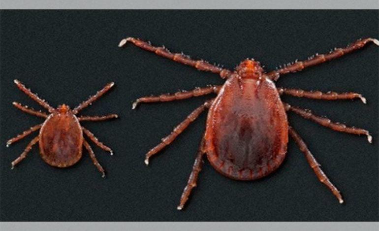 Descubren garrapata de cuernos largos podría transmitir dos enfermedades peligrosas