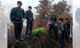 Dos capturados y plantas de marihuana decomisada en Comayagua