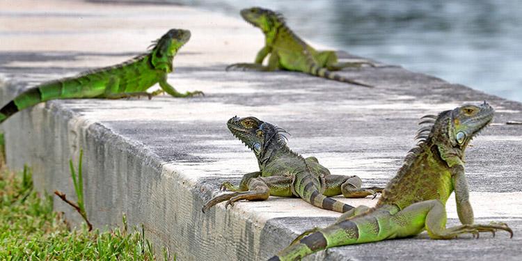 Autoridades piden a pobladores de Florida eliminar iguanas
