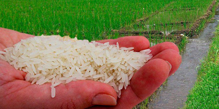 En la cosecha de arroz