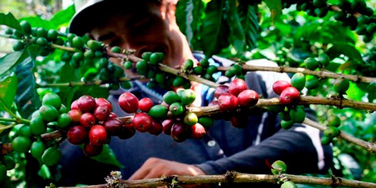 Exportaciones hondureñas de café bajan 18.5 % en 8 meses de cosecha