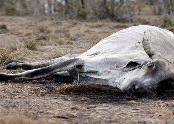 Unas 1,000 reses han muerto en las zonas cercanas al valle de Agalta.