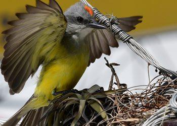 Su canto estridente y atemorizante, con la cresta roja en señal de ataque, estas aves tirano gritón o cazamoscas, espantan a todas aquellas aves que se acerca al nido.
