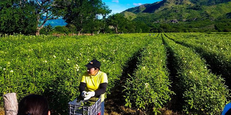 Muchos beneficiarios de Emprendesur  se dedican al cultivo de okra en  Choluteca y otros lugares.