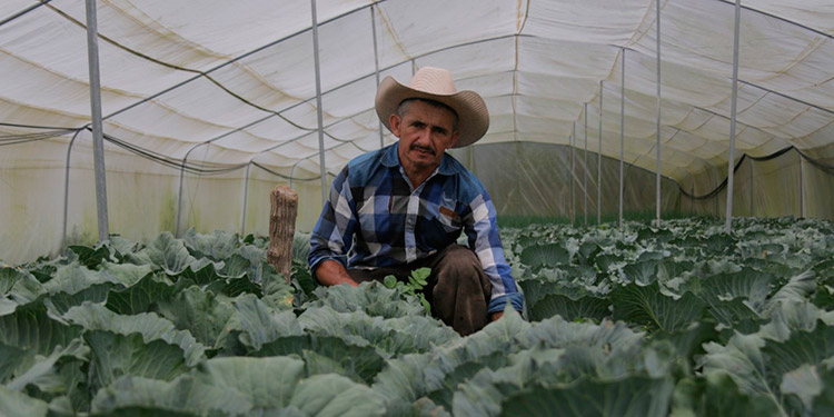 El productor Marco Tulio Maldonado rota con otros cultivos como cebollina, chile y repollo.