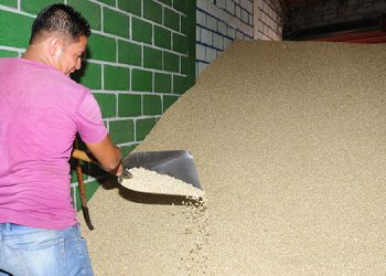 El maíz que están ofreciendo es limpio y sin gorgojo.