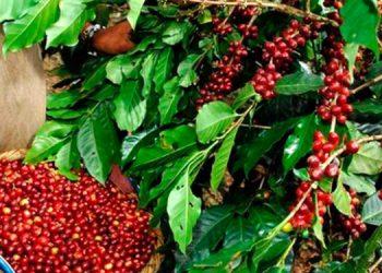 IHCAFE: Unos 8.2 millones de quintales de café se proyecta en cosecha 2020-2021