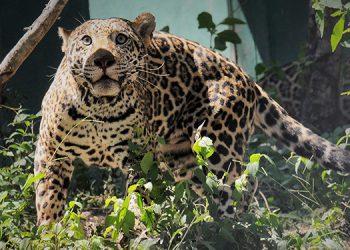 Para comenzar, dos de los jaguares mejor entrenados quedarán en libertad bajo un sistema de monitoreo satelital.