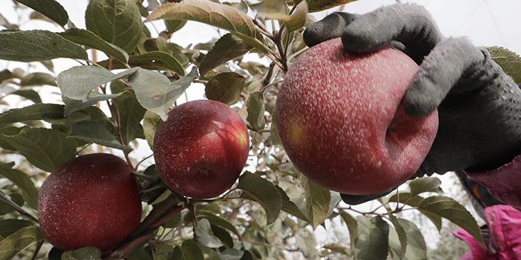 En esta foto del 15 de octubre del 2019, una manzana Cosmic Crisp es recogida en Wapato, Washington. Es una nueva variedad de manzana, y estará en los estantes en Estados Unidos a partir del 1 de diciembre.  (AP Foto/Elaine Thompson)