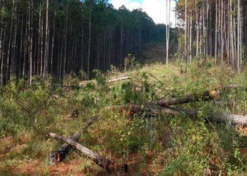 Autoridades del medio ambiente identificaron muchos cortes ilegales, supuestamente ejecutados por el rebrote del gorgojo descortezador.