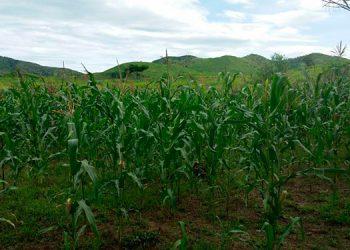 Bajo el sistema de riego por goteo, se continúa los procesos de investigación agrícola.