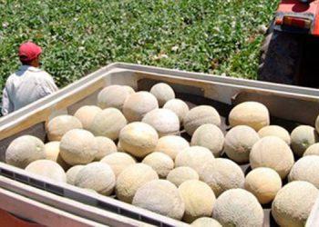A unos 40 países de tres continentes se exportan miles de toneladas de melones cada año y son degustados por los extranjeros.