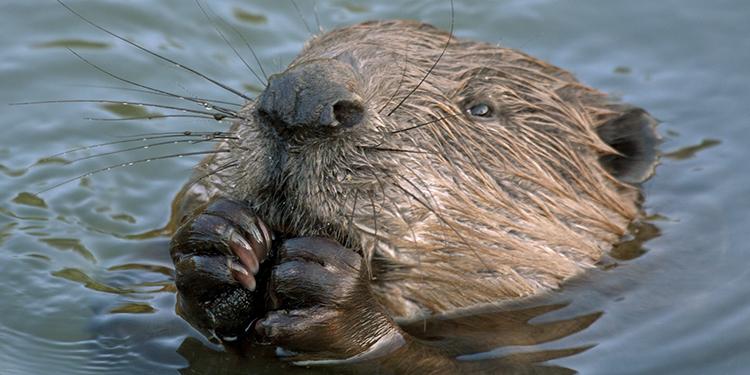 Eurasian beaver (Castor fiber), male