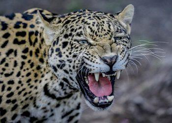 """De acuerdo con la Unión Internacional para la Conservación de la Naturaleza (UICN), """"solo quedan 64,000 ejemplares en vida silvestre"""", el 90% de ellos en la Amazonía."""