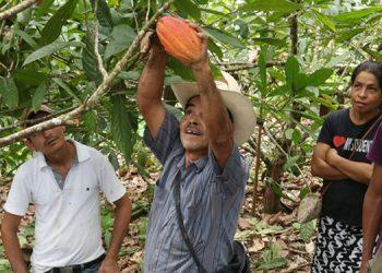 5,500 familias productoras de cacao incrementan sus ingresos.