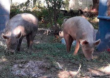 Los cerdos destruyen cementerio de Pespire y tienen de comida a los muertos.