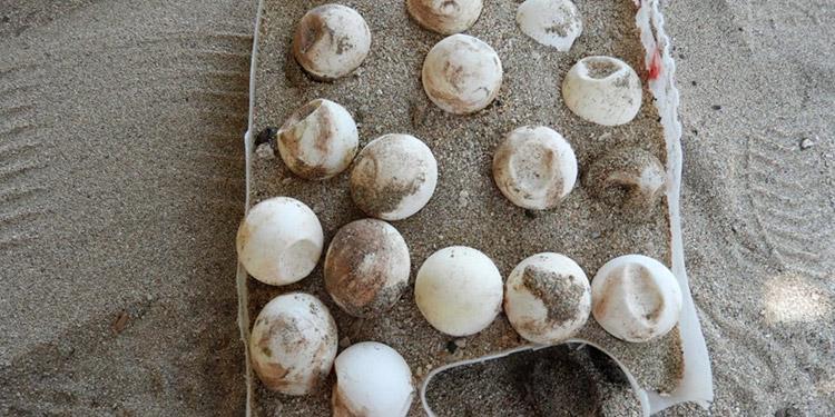 Los huevos se venden entre 100 y 120 lempiras como 'afrodisíacos'. Su consumo trae consecuencias negativas a la salud.