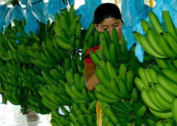 El banano es el principal producto de exportación en la parte agrícola.