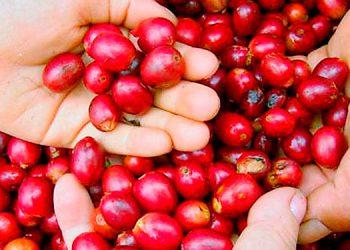 El ingreso de divisas por exportaciones de café rondará los mil millones de dólares este año.