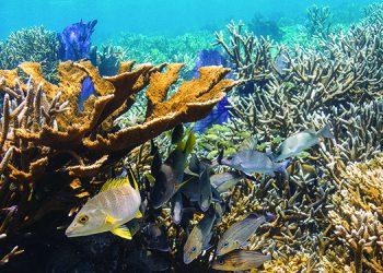 Peces como los pargos,  llamados por los hondureños como calale o yalatel, son una de las especies claves sobreexplotadas. Fotos: Iniciativa Arrecifes Saludables y Tela Marine