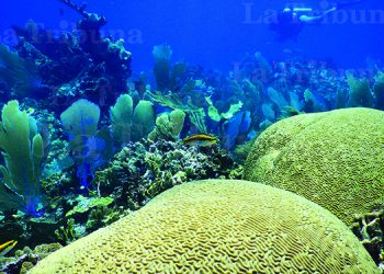 Científicos estudiaron en los últimos dos años a unas 73 colonias coralinas en el Caribe hondureño. Fotos: Ian Drysdale y Shawn Jackson