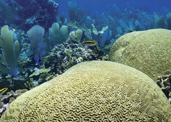 Científicos estudiaron en los últimos dos años a unas 73 colonias coralinas en el Caribe hondureño. (Fotos: Ian Drysdale y Shawn Jackson).