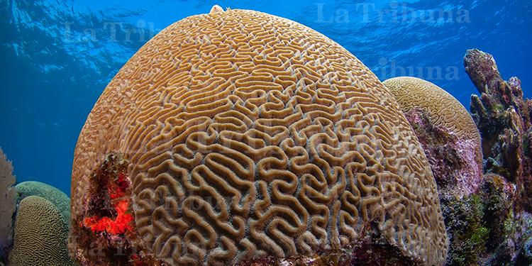 La cobertura viva de coral por metro cuadrado en los arrecifes de Honduras es de 27%, según el Reporte Salud del Arrecife Mesoamericano. Foto: Shawn Jackson