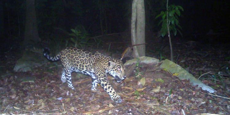 El jaguar es la especie felina más grande que habita en América. Fotos: Fundación PANTHERA y PROLANSATE